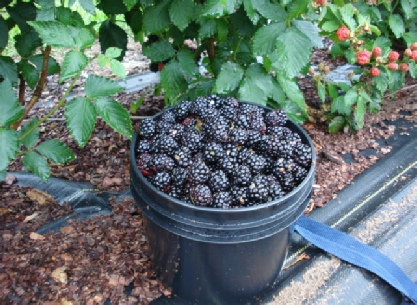 Thornless Blackberries