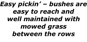 Easy pickin' – bushes are easy to reach and  well maintained with  mowed grass between the rows